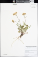 Packera ionophylla image