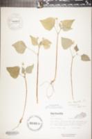 Image of Viola tripartita