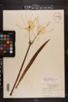 Hymenocallis duvalensis image