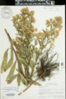 Image of Symphyotrichum elliotii