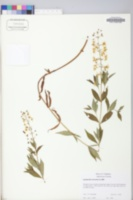 Lysimachia terrestris image
