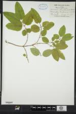 Lonicera canadensis image