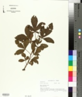 Image of Searsia montana