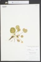 Shortia galacifolia image