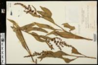 Image of Rumex floridanus