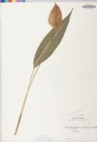 Image of Spathiphyllum patinii