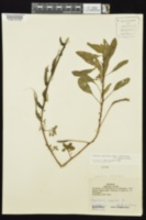 Ludwigia peploides subsp. glabrescens image