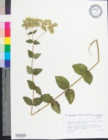 Image of Eupatorium pubescens