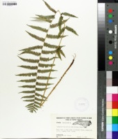 Athyrium thelypterioides image