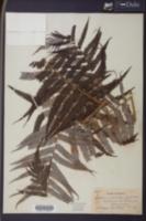 Cibotium schiedei image