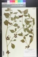 Image of Solanum saponaceum