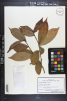 Camellia granthamiana image