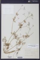 Chaerophyllum shortii image