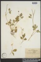 Ranunculus septentrionalis image