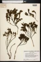 Image of Crotalaria avonensis