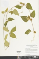 Marsdenia coulteri image