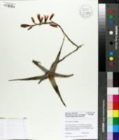 Image of Aloe parvula