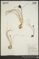 Muscari botryoides image