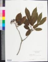 Image of Viburnum nudum