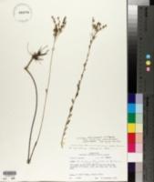Linum macrocarpum image