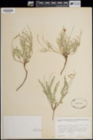 Astragalus hylophilus image