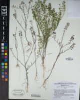 Lepidium virginicum subsp. menziesii image