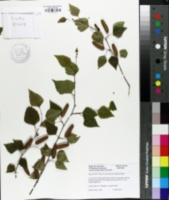 Image of Betula utilis