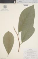 Image of Magnolia soulangeana
