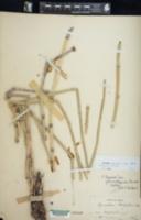 Equisetum hyemale var. affine image