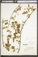 Rubus roribaccus image