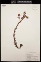 Image of Echeveria ciliata