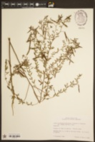 Acmispon americanus var. helleri image