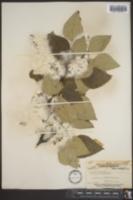Image of Populus tacamahaca