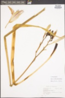 Hemerocallis fulva image