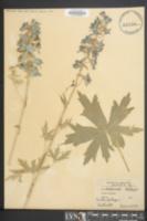 Image of Delphinium elatum