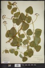 Smilax herbacea image