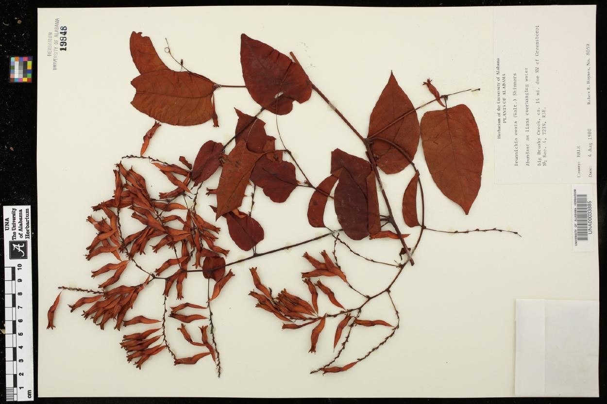 Brunnichia image