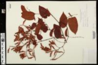 Brunnichia ovata image