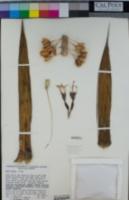 Image of Agave pelona