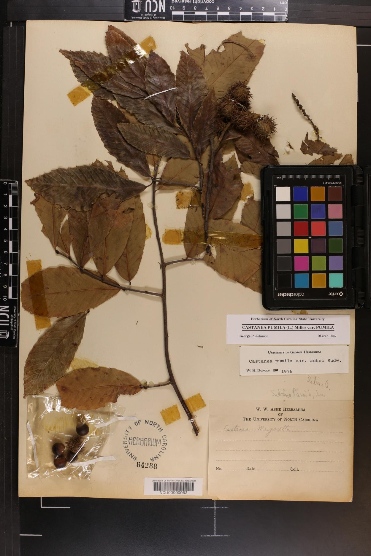 Castanea pumila var. margarettiae image