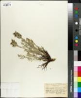Oxytropis albiflora image