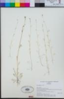 Gilia angelensis image
