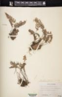Myriopteris lindheimeri image