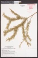Image of Picea jezoensis