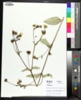 Image of Silphium glabrum