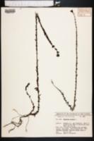 Hypericum setosum image