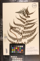 Image of Athyrium cryptogrammoides