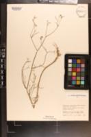 Image of Ptilimnium nodosum