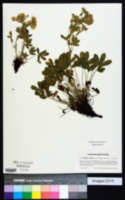 Image of Potentilla caulescens