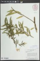 Oenothera riparia image
